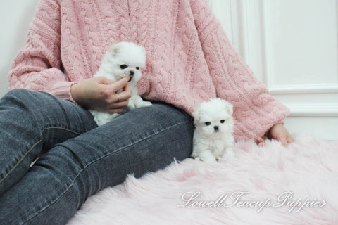 Teacup Maltese Male [Dove]