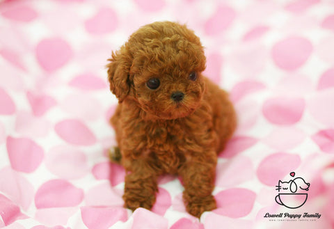 Teacup Poodle Female [Hershey]