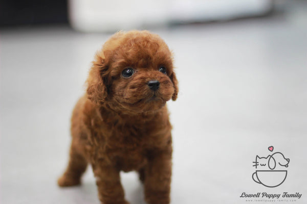 Dustin Teacup Poodle Male [DUDU]