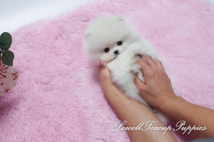 Teacup Pomeranian Male [Prince]
