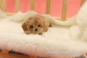 Deposit, Siena Long/Teacup Maltipoo Female [Dolly]