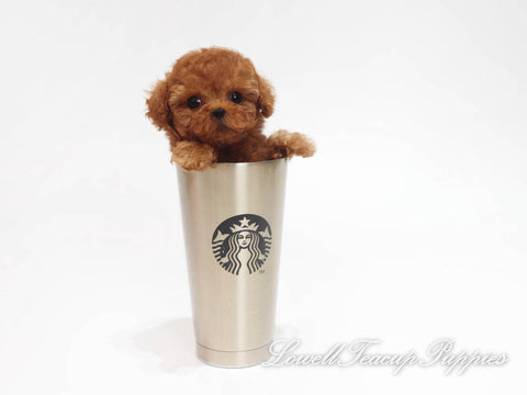 Teacup Poodle Female [Coco]