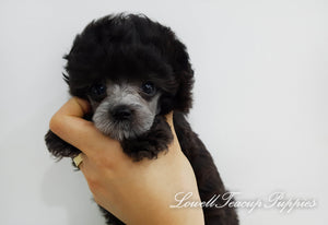 Teacup Poodle Female [Lola]