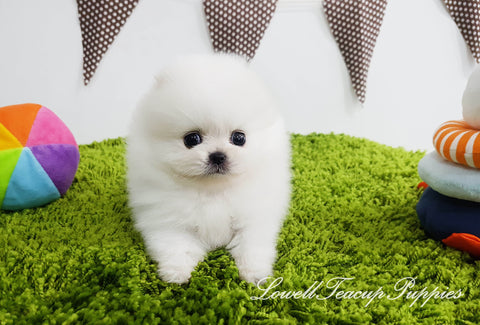 Teacup Pomeranian Male [Bentley]
