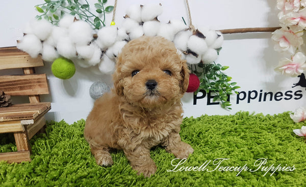 Teacup Poodle Male [Copper]