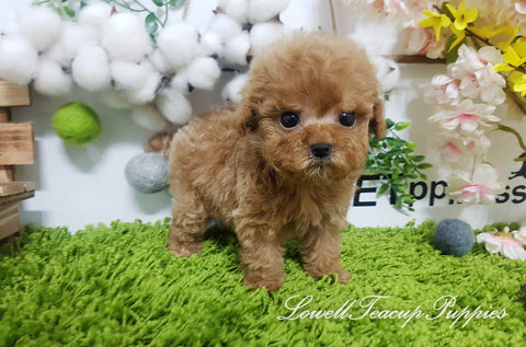Teacup Poodle Female [Sugar]