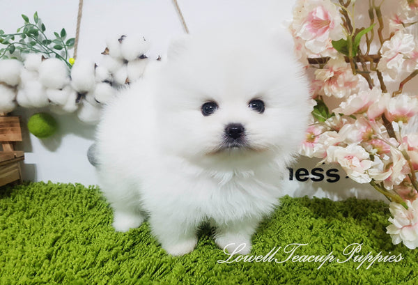 Teacup Pomeranian Male [Oliver]