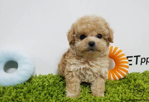 Teacup Maltipoo Male [Belle]