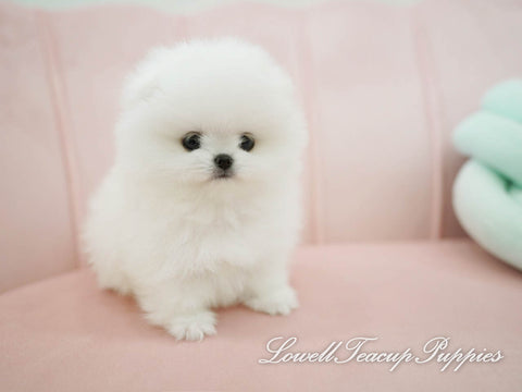 Teacup Pomeranian Male [Kiko]