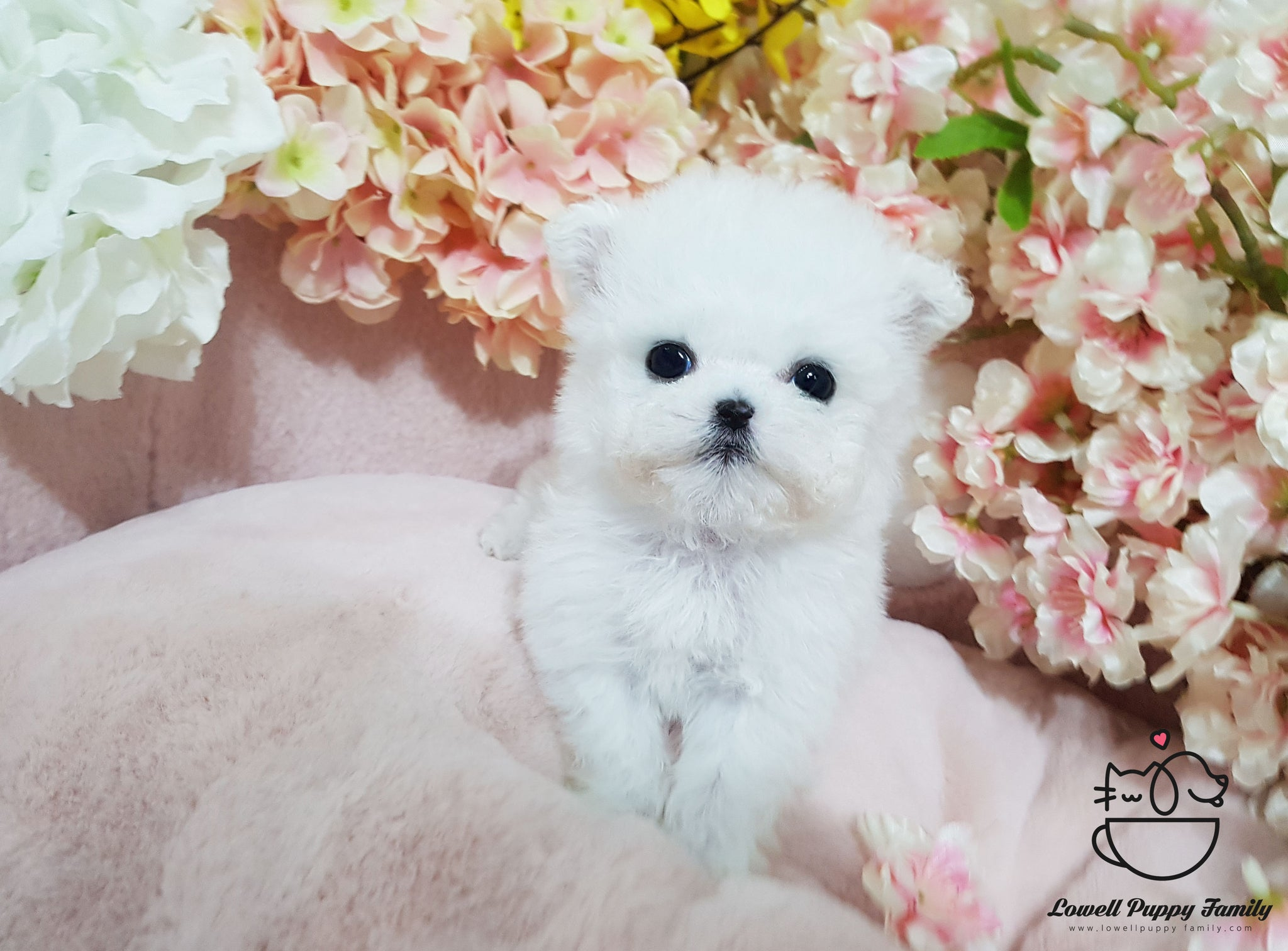 Teacup Bichon frise Female [Bubble]
