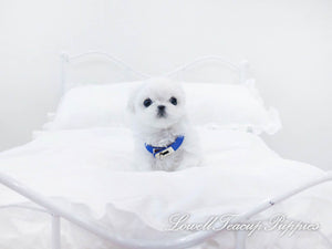 Teacup Maltese Female [Marshmallow]