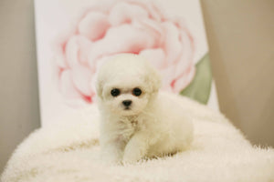 Teacup Bichon frise Female [Bonnie]