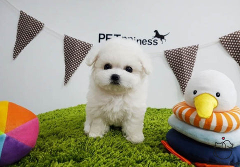 Teacup Bichon frise Male [Latte]