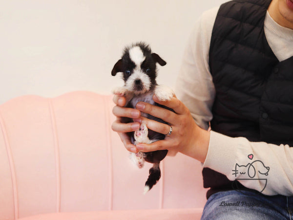 Teacup Chinese Crested Female [Verawang]