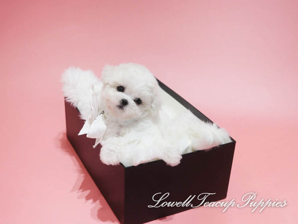 Teacup Bichon Male [Gucci]