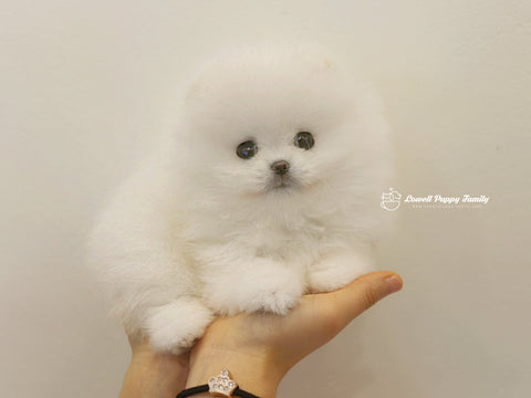 Teacup Pomeranian Female [Bebe]