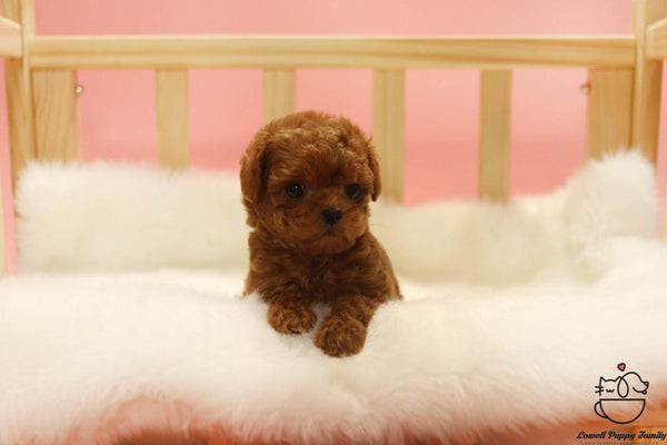 Teacup Maltipoo Male [Bobo]