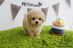 Teacup Poodle Female [Luna]