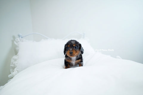 Teacup Dachshund Male [Ray]