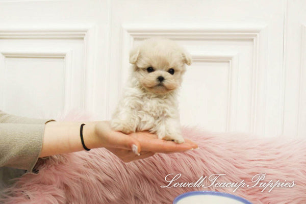 Teacup Maltipoo Male [Mignon]