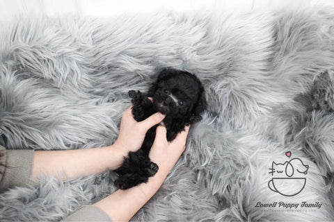 Teacup Poodle Male [Pony]