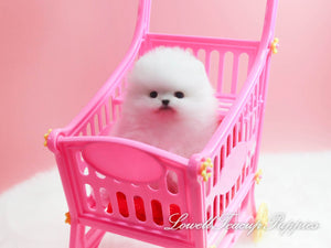 Teacup Pomeranian Female [Lena]