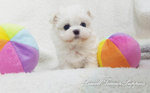 Teacup Maltese Male [Rocco]