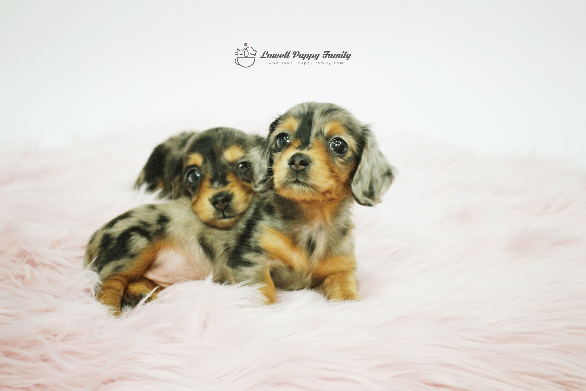 Tania pourat female Aida sold out / Mini Dachshund Twins [Alan,Aida sold out]