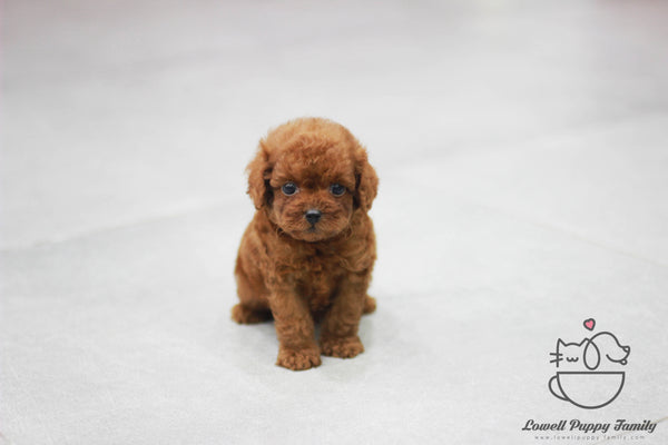 Teacup Poodle Male [DUDU]