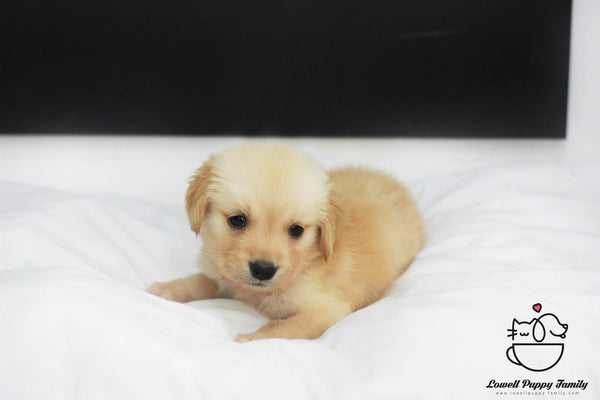 Golden Retriever Male [Dobby]