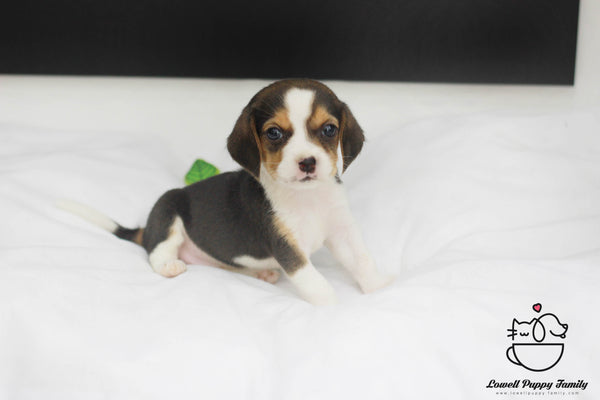 Beagle  Female [Lucy]