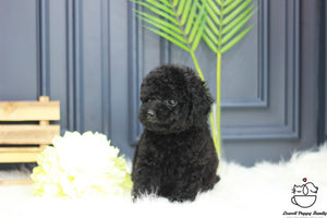 Teacup Poodle Female [Cookie]