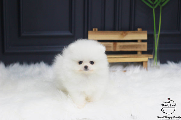 Teacup Pomeranian Female [Ali]