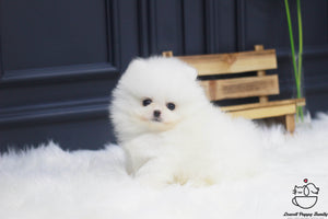 Teacup Pomeranian Male [Hannah]