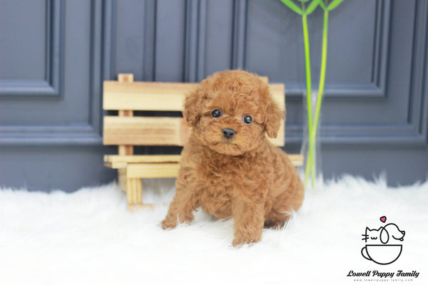 Teacup Poodle Male [Rotti]