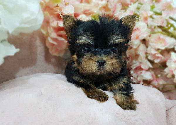 Teacup Yorkshire terrier Male [Ella]