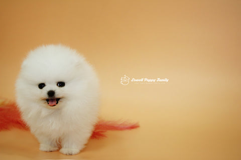 Teacup Pomeranian Male [Allah]