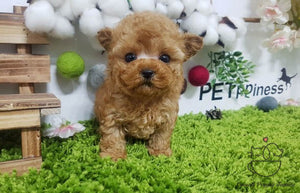 Woo William /Teacup Maltipoo Male [Poo]