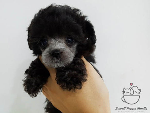 Karen Yamasaki / Teacup Poodle Female [Bella]