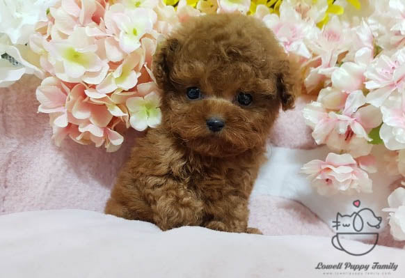 Eliana Chavez / Teacup Poodle Female [Fendi]