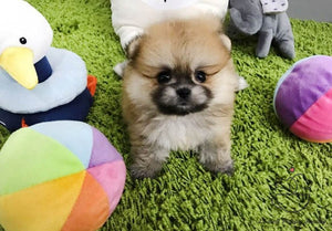 Sold out Teacup Pomeranian Female [Louis]
