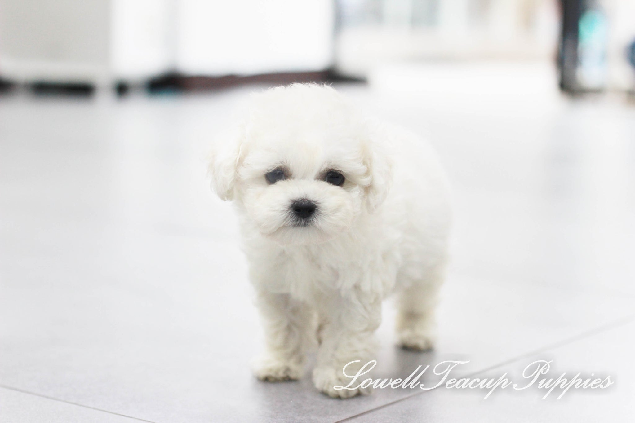 Teacup Bichon Female [Petit]