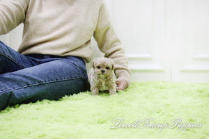 Teacup Maltipoo Male [Haribo]