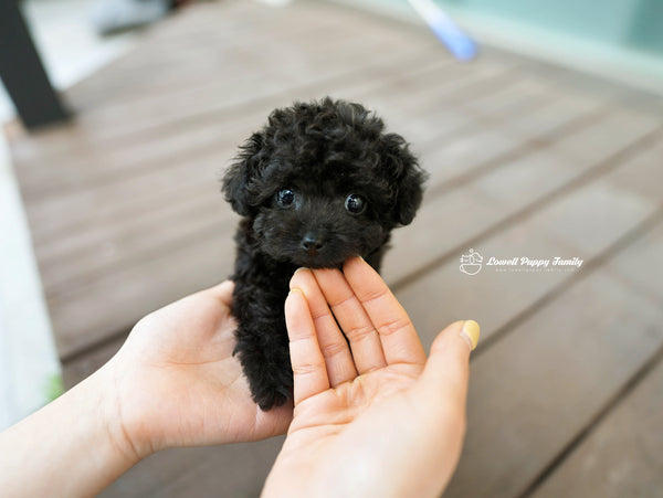 Teacup Poodle Female [Poppy]