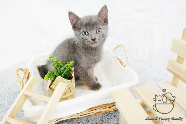 Russian Blue Male [Michiko]