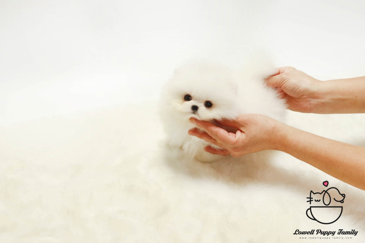 Teacup Pomeranian Female [Lola]
