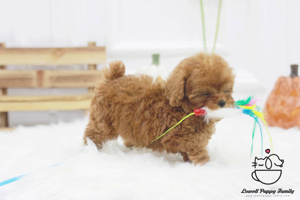 Teacup Poodle Female [Kitkat]