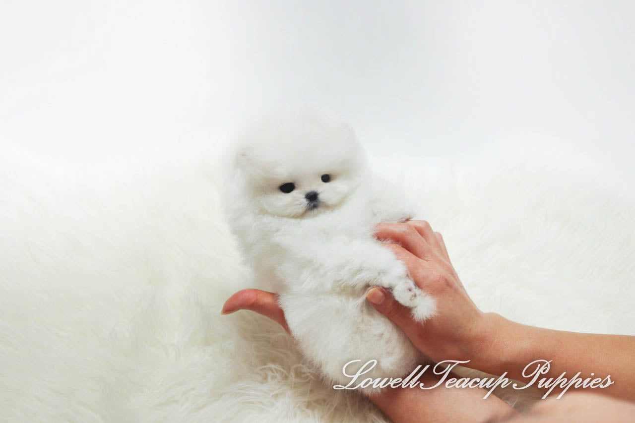 Teacup Pomeranian Female [Merry]