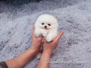 Teacup Pomeranian Male [Pepper]