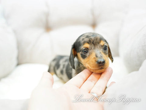 Teacup Dachshund Female [Ashley]